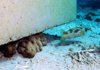 (1)19日に撮影された写真。サンゴがコンクリートブロックの下敷きになっている=名護市辺野古沖(ダイビングチーム・レインボー提供)