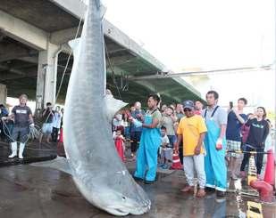 駆除され、解体されるサメ=石垣市新栄町・八重山漁協水揚げ場