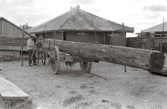 サバニの材料となった宮崎県産の「飫肥(おび)杉」と、運ぶための荷車。丸太を面取りして四角に近い形に整えられており、ここから板材を切り出す。「すらーっとして、素性がいい木」と評したのが約50年の経歴を持つサバニ職人、大城清さん(67)=糸満市西崎。20歳のころ、目利きぞろいの先輩職人と宮崎に買い付けに行き、「山積みになった中から、いい木ばかりを抜き出したから『売り物がなくなる』と業者が困っていた」。実際に選んで見せ、造らせてみて木の良し悪しを伝える先輩の気配りに「人を育てる気風にあふれていた」と懐かしむ。写真左の奧と手前に、既に切り出された板材がみえる。作業場近くかもしれない。現在の同市糸満、前端区辺りとみられる