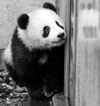 [きょうナニある?]/話題/シャンシャン公開先着順/上野パンダ 2月から変更