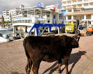 臨時運行した代船「ぱいかじ」(奥)で、初競りに向けて石垣市へ運ばれた波照間島の子牛=11日、石垣港