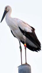 電柱で羽を休めるコウノトリ。足に個体識別の標識リングが付いている=19日午後4時ごろ、豊見城市与根(山城正邦さん提供)