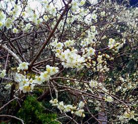 満開を迎えつつある梅の花=14日、本部町伊豆味