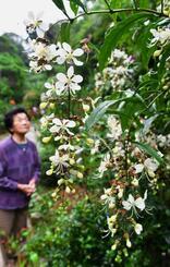 可憐(かれん)な白い花を咲かせたクラリンドウ=21日、本部町伊豆味・シロマみかん園(落合綾子撮影)