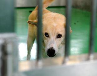 捕獲された犬。人が近寄るとしっぽを振って寄ってくる(沖縄県動物愛護管理センター、2013年10月撮影)