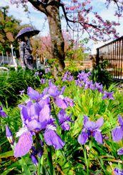 ヒカンザクラの木のそばに咲くイチハツの花=23日午前、那覇市寄宮(金城健太撮影)