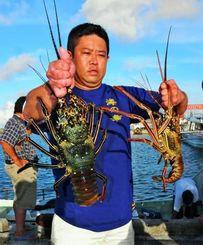 解禁日初日に水揚げされた新鮮なイセエビ=1日、宮古島市平良・荷川取漁港