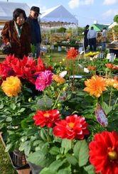 ダリアやポインセチアなどの草花を見て回る買い物客=5日、沖縄市登川の市農民研修センター