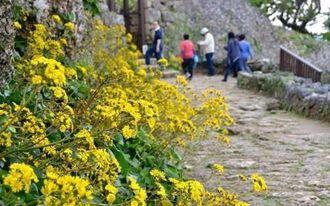 黄色いツワブキの花が、訪れる人たちを楽しませている。満開は1月上旬ごろ=中城城跡