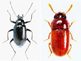(左)ショウヤマキマワリ(右)カンピラツノチビゴミムシダマシ(いずれも日本甲虫学会「Elytra New Series」から)