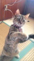 「わたし上手でしょ〜!」 猫グッズを使って遊んでいたらそれをつまもうとしていたので、すぐさま撮りました。