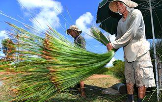 照りつける日差しの下でビーグを刈り取る農家=5日、うるま市与那城照間(喜屋武綾菜撮影)