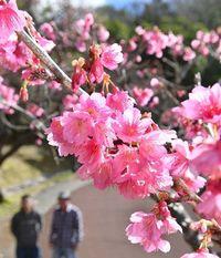 桜シーズン到来の沖縄、「桜前線」南下中です 北上しない不思議なメカニズムは?