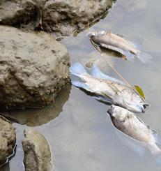 久茂地川でみつかった魚の死骸=日那覇市久茂地