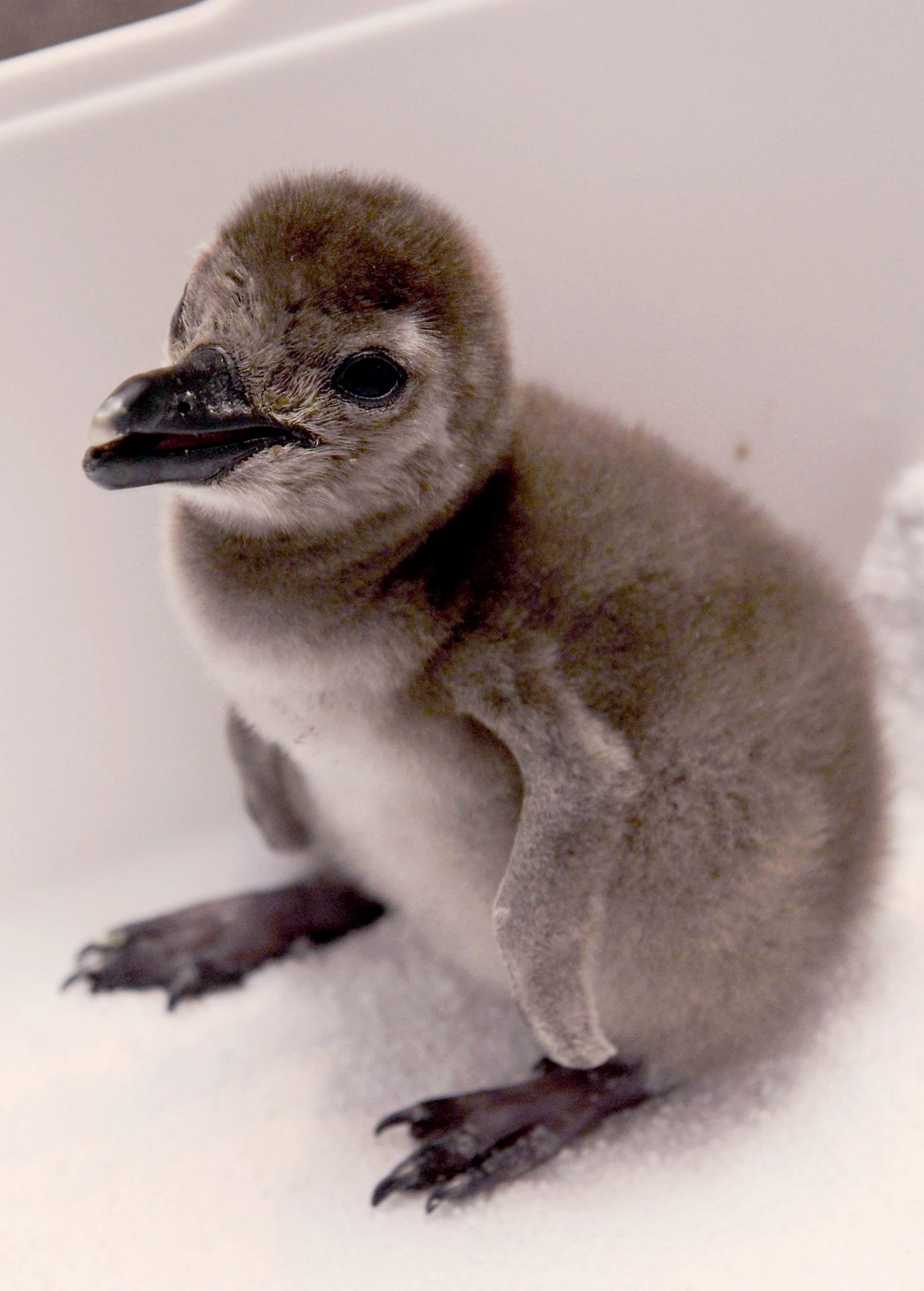 沖縄のバーでペンギンのひながかえる 3月に店で公開の予定 かわいく ...