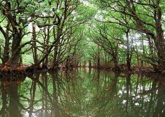 浦内川では水面が鏡のようにマングローブ林を映していた=4日、西表島(朝日新聞社提供)