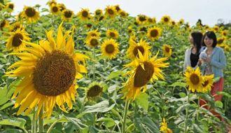 太陽の光を浴び、咲き誇るヒマワリに見入る来場者=19日午後3時半ごろ、宮古島市平良下里(国吉聡志撮影)