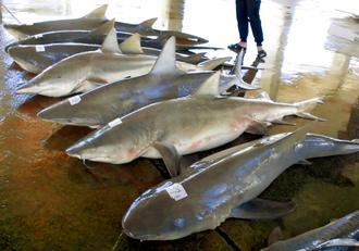 駆除事業で捕獲されたサメ=3日、南城市知念海野(知念漁協提供)