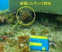 辺野古サンゴ損傷で生態影響 専門家、見解分かれる