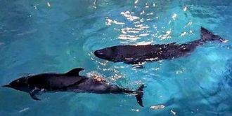 保護された後、予備のプールでマダライルカ(左)と泳ぐコマッコウ=17日午後8時半ごろ、本部町・海洋博公園(海洋博公園提供)