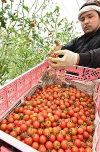 真っ赤に熟したミニトマト 収穫に汗 沖縄・豊見城