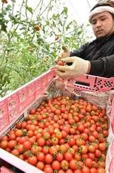 太陽の光を浴びて真っ赤に熟したミニトマトを収穫する農家=24日、豊見城市饒波(渡辺奈々撮影)