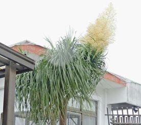 宮里朝曠さんの自宅で咲いたトックリランの花=23日、うるま市