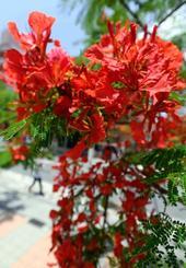 陽光に照らされ、風に揺れるホウオウボクの赤い花=6日、那覇市安里(田嶋正雄撮影)