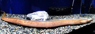 日本で初めて発見され、飼育されていたウミヘビ科の魚類=2017年9月16日、(沖縄美ら島財団提供)