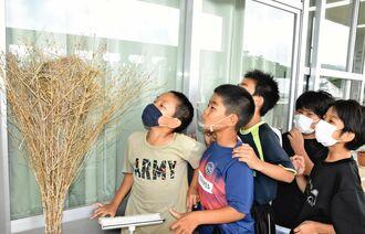 竹ぼうきに作られた巣を見守る子どもたち=6日、名護市・稲田小学校