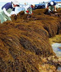 潮が引いた岩場でヒジキを収穫する漁業関係者=19日午後、与那原町・当添漁港近く