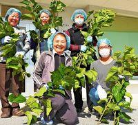 それは「もったいない」から始まった! 沖縄在来の「島桑」をお茶やパウダーに 健康・美容でいま注目!!
