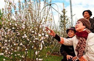 ヌヌマチガマで満開を迎えた梅を観賞する元白梅学徒=1日午前、八重瀬町新城