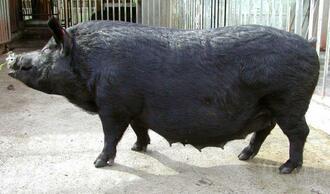 沖縄県の豚の固有種「アグー」の雌=沖縄県今帰仁村の県畜産研究センター(同県提供)