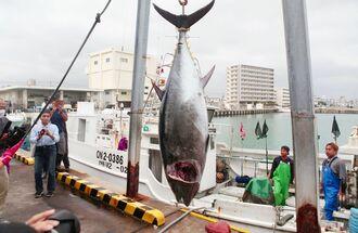 八重山漁協で今期初めて水揚げされた189キロのクロマグロ=4日、石垣市新栄町
