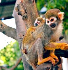 母「アズー」の背中にしがみついて過ごすコモンリスザルの赤ちゃん(東南植物楽園提供)