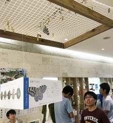 ぬちまーすの館内に展示されたオオゴマダラを観察する来場者=うるま市宮城島・ぬちまーす