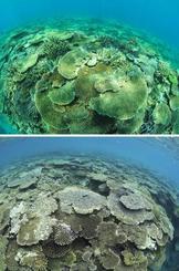 鹿児島県・加計呂麻島のサンゴ礁。昨年8月(上)はミドリイシが海底を覆っていたが、今年6月(下)には多くが死に、藻が生えて黒ずんで見える(興克樹氏提供)