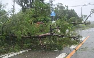 強風にあおられ、折れた倒木が県道の片側一車線をふさいだ=27日午前11時42分、石垣市真栄里