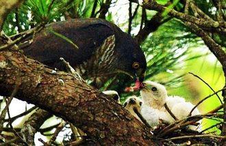 ひな鳥にエサを与えるツミの親鳥=10日、本島中部の公園(下地広也撮影)