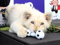 もふもふした~い! ホワイトライオン登場に歓声 沖縄こどもの国で歓迎式
