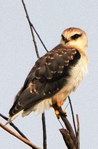 迷鳥「カタグロトビ」石垣島で繁殖、国内初確認 「巣立ち手放しでは喜べず」