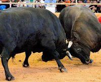 闘牛は虐待なの? 動物愛護団体から法規制強化の声 どう守る沖縄の伝統文化