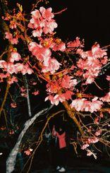ライトアップされピンク色のサクラが浮かび上がり、幻想的な雰囲気に包まれた=17日、今帰仁城跡