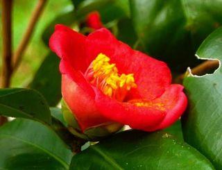 平年より12日早い開花となったツバキ=24日、那覇市首里の末吉公園(沖縄気象台提供)