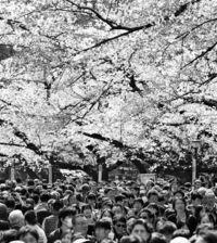 [きょうナニある?]/話題/春の陽光 花見にぎわう/東京 3番目早く桜満開