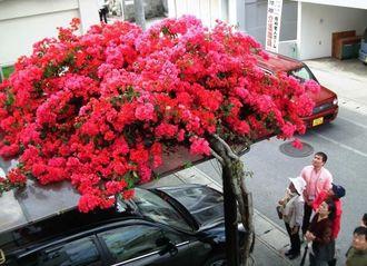 鮮烈な赤紫で車庫を覆うブーゲンビレア=浦添市西原・比嘉繁男さん宅の車庫