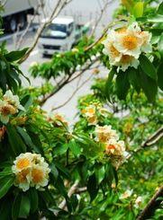 季節外れに咲いたイジュの花=11日、金武町伊芸(田嶋正雄撮影)