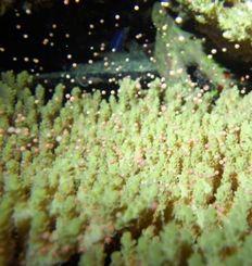産卵するミドリイシの仲間=26日午後11時ごろ、本部町・沖縄美ら海水族館(同館提供)
