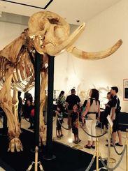 巨大なアフリカゾウ「タマオ」の骨格標本を見上げる親子連れの見学者=15日、県立博物館・美術館